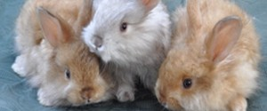 Satin Angora Rabbit Babies