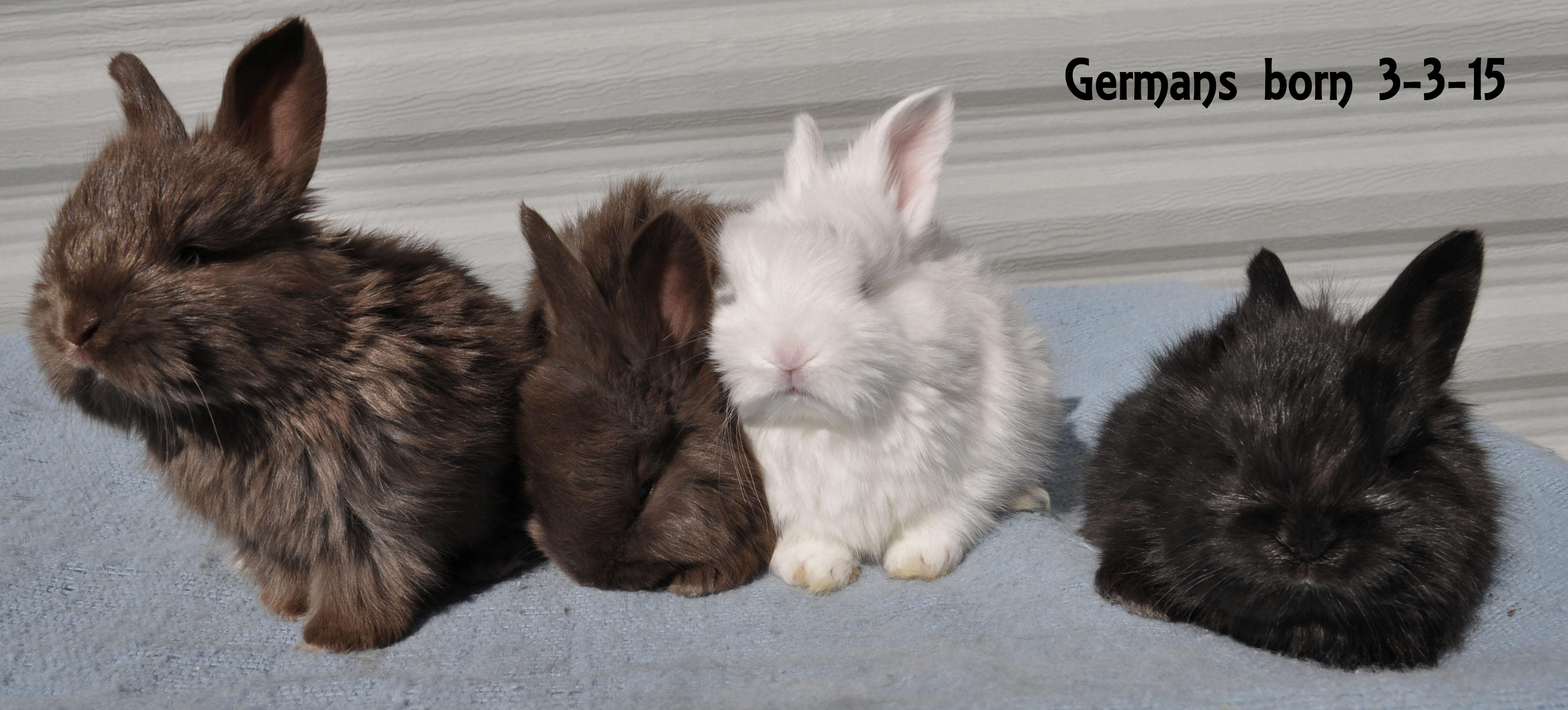 German angora babies