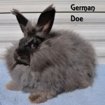 Black German Angora Doe