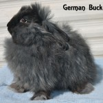 Black German Angora Buck