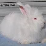 White German Angora Doe