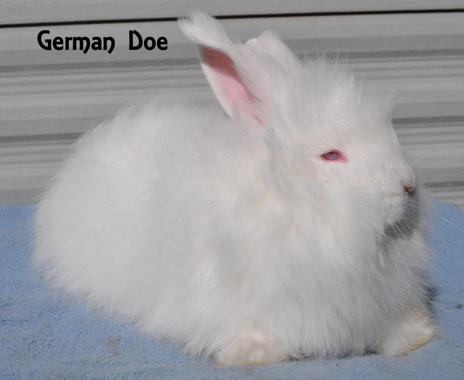 White German Angora Doe