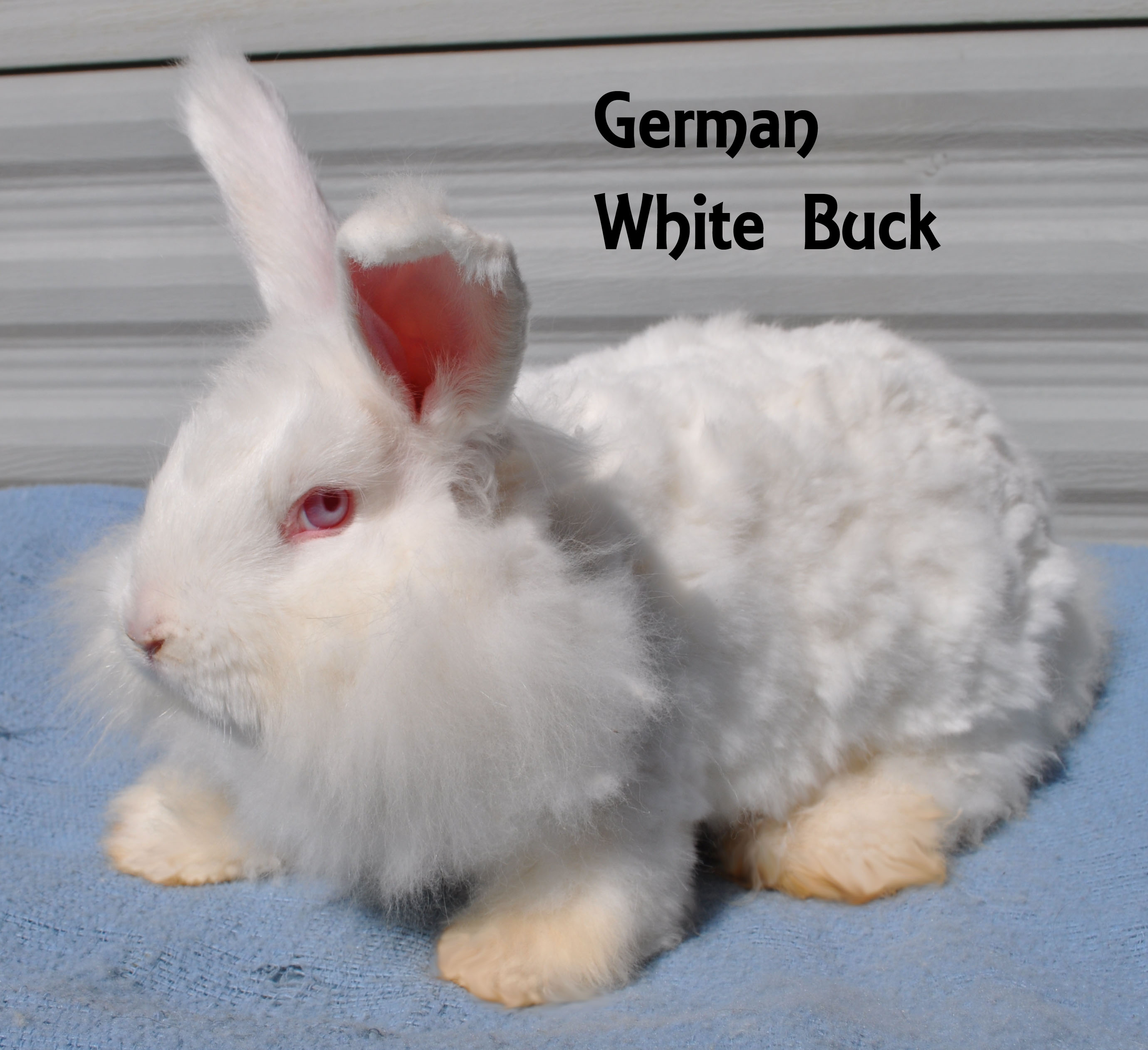 White German Angora Buck