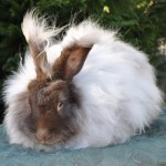 Gay's Nancy Chocolate German Angora Doe