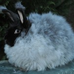 Gay's Nat Black German Angora Buck