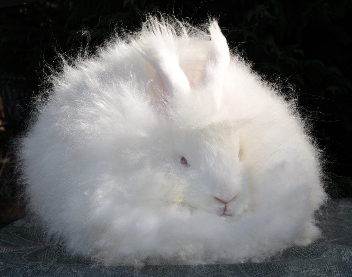 Gay's Sheba White German Angora Doe