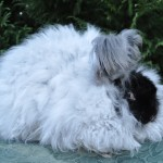 Gay's Tina Black German Angora Doe