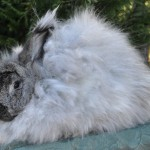 Gay's Capone Steel German Angora Buck