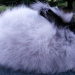 Gay's Sweetie Black German Angora Doe