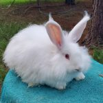 ***sale pending*** White German Angora Doe 7-19-20