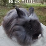 Blue Eyed Black VM Buck 10-17-20