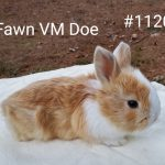 *** Sale Pending*** Fawn VM Doe born 11-15-20