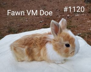 *** Sale Pending*** Fawn VM Doe born 11-15-20