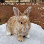 #1230 Chocolate Agouti VM Buck