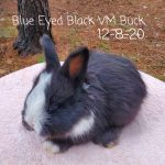 #1231 Blue Eyed Black VM Buck