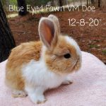 #1230 Blue Eyed Fawn VM Doe born 12-8-20