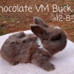 #1232 Chocolate VM Buck
