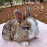 Lafrance #1234 Blue Eyed Chestnut VM Doe