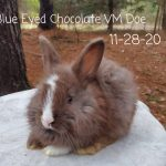 #1180 Blue Eyed Chocolate VM Doe