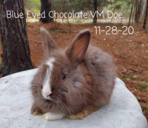 #1180 Blue Eyed Chocolate VM Doe